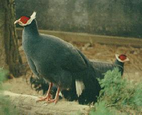 Blue-Eared Pheasant