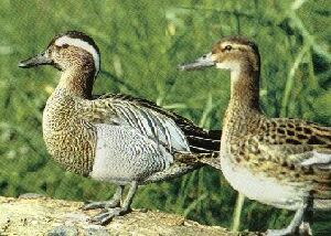 Gargeny Teal